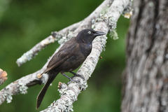 Black bird. Sitting on a branch with a green background Royalty Free Stock Photos
