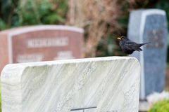 Bird on a grave stone. A black bird sitting on a grave stone Royalty Free Stock Photo
