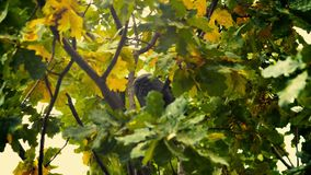 A black bird sitting in leaves. Autumnal Oak Leaves Late summer early autumn sunlight through oak leaves. Autumnal Oak Leaves Late summer early autumn oak stock video