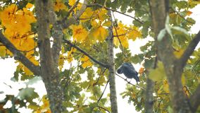 A black bird sitting in leaves. Autumnal Oak Leaves Late summer early autumn sunlight through oak leaves. Autumnal Oak Leaves Late summer early autumn oak stock video footage