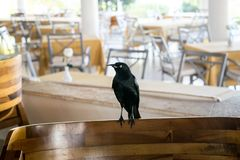 Black Bird Sitting in Outdoor Cafe Stock Images