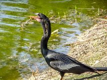 black bird spreading wings stock photography