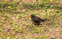 Black bird. On spring glade wary looks Stock Photography