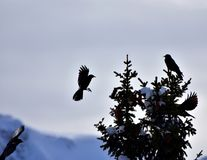 Black Bird Spruce Tree Background. Black birds in action. Flying and sitting birds on the spruce tree in winter time. With copy space and cloudy, grey sky in the royalty free stock photo