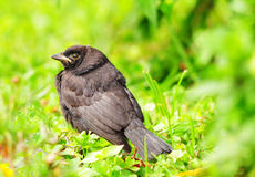 Black Bird Stock Image