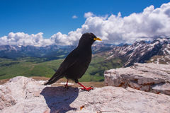 Black bird stands on rock Stock Images