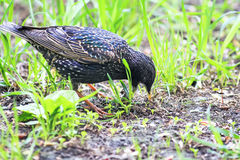 The black bird is a Starling looking for in the green grass of a worm Royalty Free Stock Photo