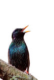 The black bird is a Starling sings on the tree Royalty Free Stock Image