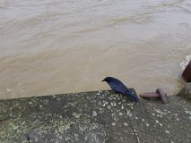 Black bird on the stone embankment of the muddy river Royalty Free Stock Image