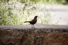 Black Bird on Stone Surface stock image