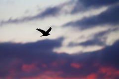 Black bird  at sunset Royalty Free Stock Photos