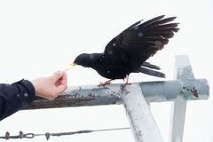 Black bird taking food. Feeding from hand. Hungry crow Royalty Free Stock Images