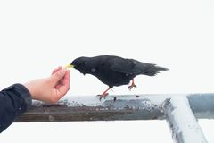 Black bird taking food. Feeding from hand. Hungry crow Royalty Free Stock Photography