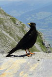 Black bird on the top of the hill. Photo of black bird in Innsbruck Royalty Free Stock Image