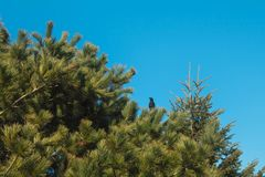 Black Bird On The Top Of Pine Tree stock images