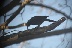 Black Bird Upon A Tree Branch Royalty Free Stock Photo