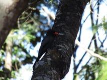 Black bird in a tree, Brazil South America. Beautiful black bird in a tree, Brazil, South America 2017 Royalty Free Stock Image
