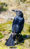 Black bird Tristram Sparrow is sitting near water source. Black bird Tristram Sparrow is sitting near water source Stock Image