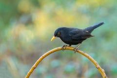 Black bird or Turdus merula. Blackbird, Turdus merula, male bird in Badajoz, Extremadura, Spain Royalty Free Stock Photography