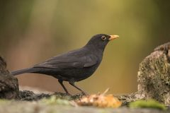 Black Bird, Turdus merula. A bird with a orange beak. stock photo