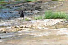 A black bird on the water`s edge stock photos