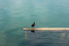 Black bird with white beak sitting on water beam.  Royalty Free Stock Photos