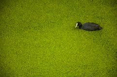 Black bird with white beak swimming in canal water covered by small greenish aquatic plants at Gouda. Very popular day trip destination, is famous for its Royalty Free Stock Images