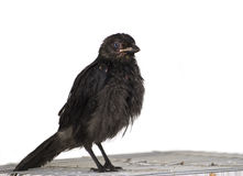 Black bird. On white isolated background Stock Images