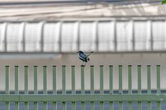 Black bird with white line on its wing hangs on to green fence royalty free stock image