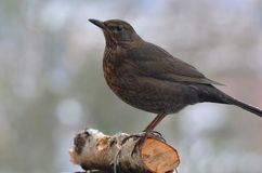 Black bird in winter Royalty Free Stock Photography
