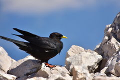 Black bird with yellow beak royalty free stock photography