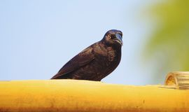 Black bird with yellow eyes called Irauna-grande or Giant Cowbir Royalty Free Stock Photos