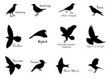 Black birds. Set of black birds' silhouettes Royalty Free Stock Images