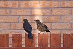 Black Birds. A male and female black birds (Turdus Merula stock image