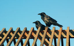 Black Birds. Two black birds in profile on a wooden structure in front of a clear blue sky Royalty Free Stock Photos