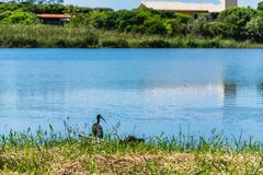 Black birds on a blue lagoon. Florianopolis, Brazil. Februry, 2018. Black birds on a blue lagoon. The birds are the Tapirucu; P. infuscatus; Threskiornithidae royalty free stock image