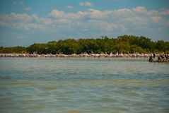 Black birds on a broken tree in the water and white pelicans in dalike. Rio Lagartos, Mexico. Yucatan. Black birds on a broken tree in the water and white Royalty Free Stock Photography