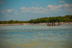 Black birds on a broken tree in the water and white pelicans in dalike. Rio Lagartos, Mexico. Yucatan. Black birds on a broken tree in the water and white Royalty Free Stock Image