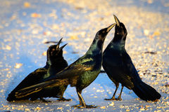Black birds Stock Images