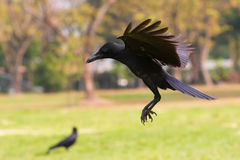 Black birds crow flying (howering) on mid air prepare to landin stock photography