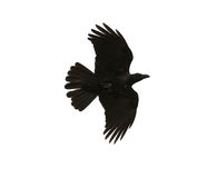 Black birds crow flying mid air show detail in under wing feathe Stock Images