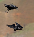 Black birds in flight Stock Images