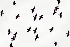 Black birds fly in the sky. Against dense white clouds Royalty Free Stock Photography