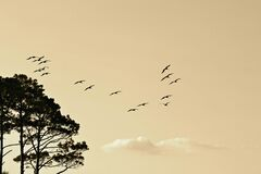 Black Birds Flying Near Black Leaf Tall Trees Royalty Free Stock Image
