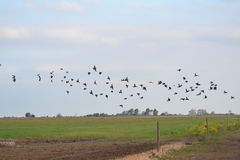 Black birds flying over the country Stock Photos