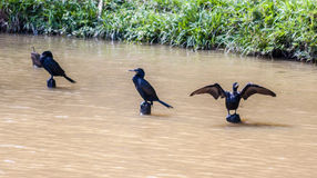 Black Birds Itatiba Zoo Sao Paulo Royalty Free Stock Photos