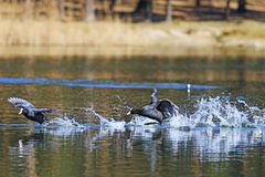 Black birds love games. Dating game, coots on spring royalty free stock photos