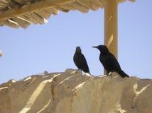 Black birds. In Masada, Israel Stock Photos