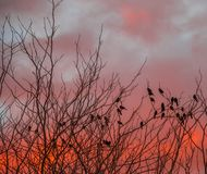 Black birds silhouetted against a dark sky. Black birds perched in a dry tree silhouetted against an ominous orange sky image with copy space in landscape format royalty free stock photos