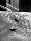 Black birds in Snow Royalty Free Stock Photography